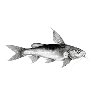 Vintage illustrations of chrysichthys auratus