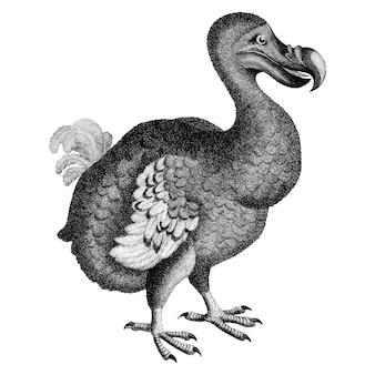 Vintage illustrations of dodovintage