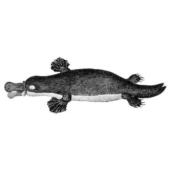 Vintage illustrations of duck-billed platypus