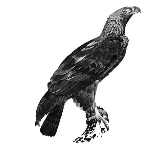 Vintage illustrations of eastern imperial eagle