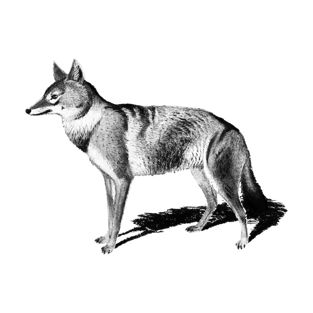 Vintage illustrations of golden jackal