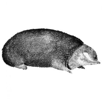 Vintage illustrations of golden mole
