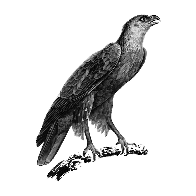 Vintage illustrations of greater spotted eagle