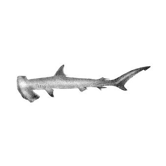 Vintage illustrations of hammer-headed shark