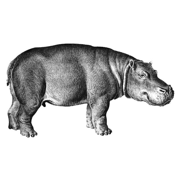 Vintage illustrations of hippopotamus