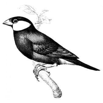 Vintage illustrations of java sparrow