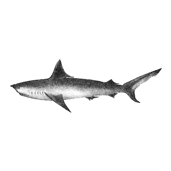 Vintage illustrations of long-tailed porbeagle