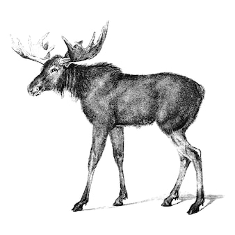Vintage illustrations of moose