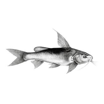 Chrysichthys auratusのヴィンテージのイラスト