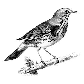 Vintage illustrations of Rock thrush