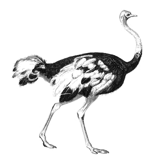 Vintage illustrations of ostrich