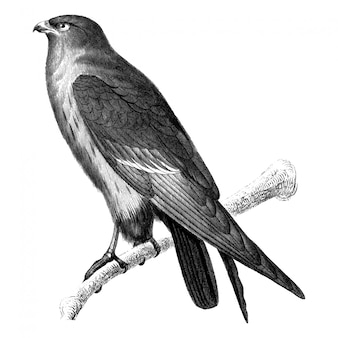 Vintage illustrations of red-footed falcon