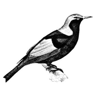 Vintage illustrations of regent bowerbird