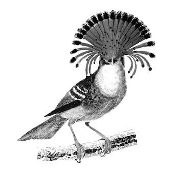 Vintage illustrations of royal flycatcher