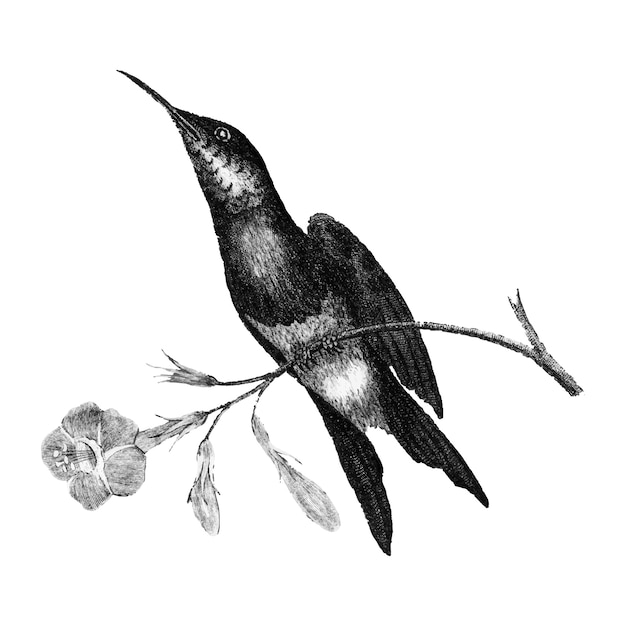 Vintage illustrations of sunbird
