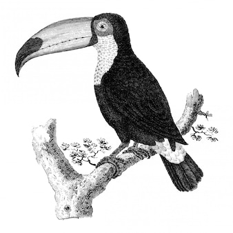 Illustrazioni d'epoca di uccello toco