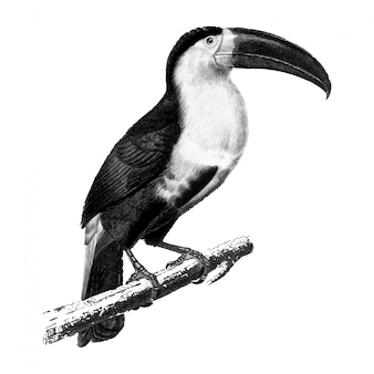 Vintage illustrations of toucan