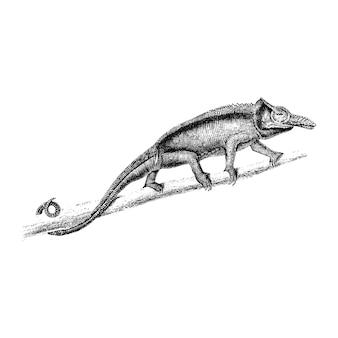 Vintage illustrations of two-horned chameleon