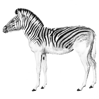 Vintage illustrations of zebra
