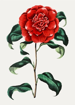Vintage mr. reeves's crimson camellia for decoration