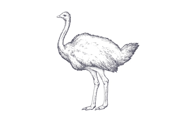 Винтажная иллюстрация страуса
