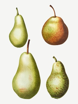 Vintage pear types drawing