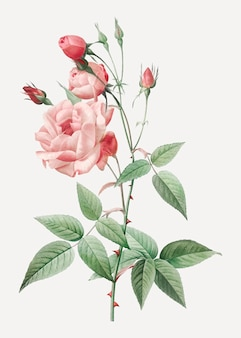 Vintage pink rose drawing