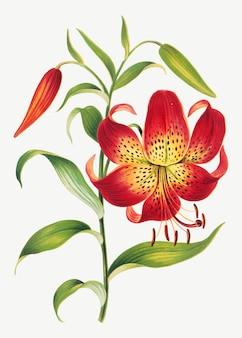 빈티지 붉은 백합 꽃 식물 삽화, l. prang & co의 작품에서 리믹스