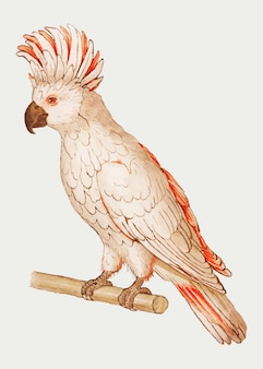 Vintage salmon crested cockatoo illustration