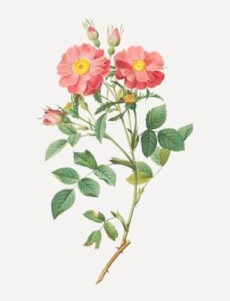 Vintage sweetbriar rose poster