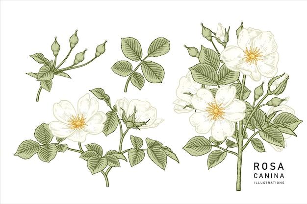 Vintage white dog rose (rosa canina) flower drawings.