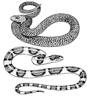 バイパーヘビ。蛇コブラとパイソン、アナコンダまたはバイパー、ロイヤル。古いスケッチ、ステッカーやタトゥーのビンテージスタイルで描かれた刻まれた手。 ophidianとasp。