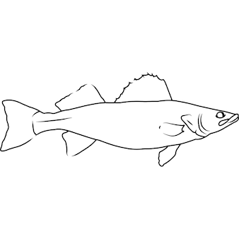 Walleye pike hand sketched hand drawn vector clipart