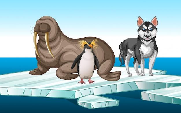 Walrus and penquin on iceberg