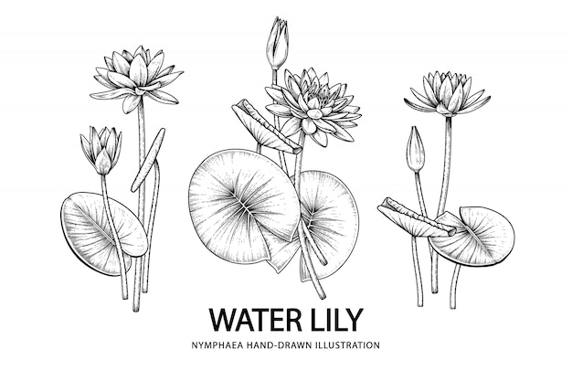 Water lily flower drawings illustration