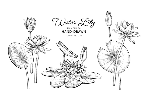 Water lily flower drawings.