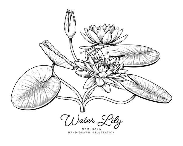 Water lily flower hand drawn botanical illustrations.