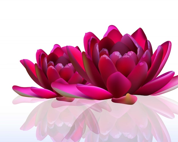 Water lily flowers on white illustrations