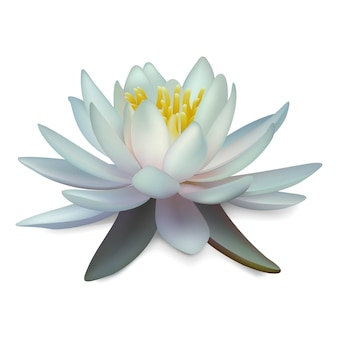 Water lily. isolated white lotus illustration.
