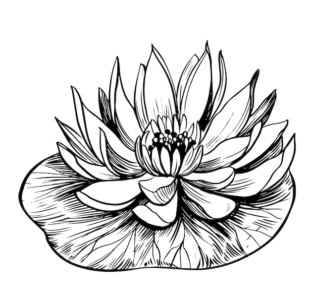 Water lily. lotus. hand drawn   outline