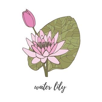 흰색 배경에 녹색 잎이 있는 분홍색의 수련 연꽃