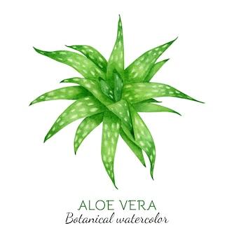 Акварельная иллюстрация растения алоэ вера
