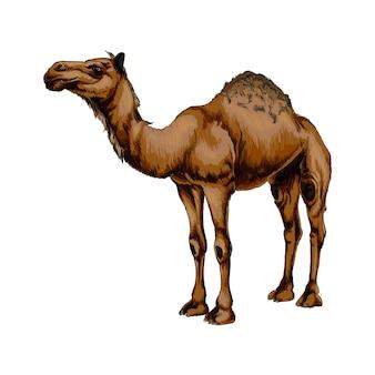 Watercolor arabian camel  on white