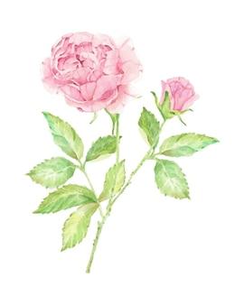 Акварель красивая английская роза цветок филиал букет изолированные