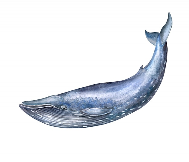Watercolor big blue whale