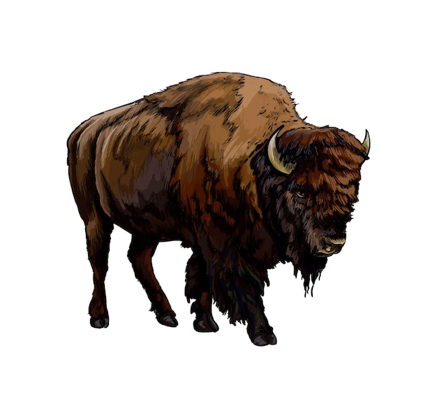 Watercolor bison, buffalo on white