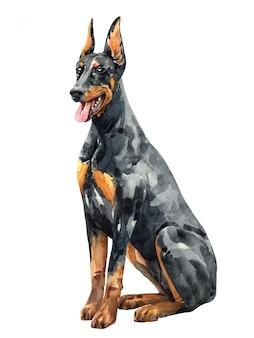 水彩の黒いドーベルマン犬のピンシャー。水彩の手描きイラスト。