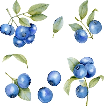Watercolor blueberries illustration