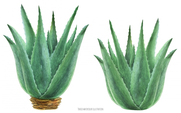 Watercolor botanical illustration aloe vera bushes