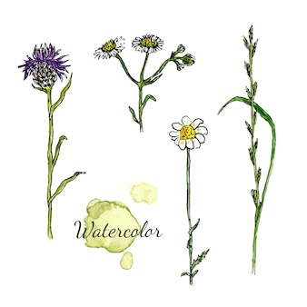Watercolor botanical set with wild flowers. camomile, thistle medecine herbal.